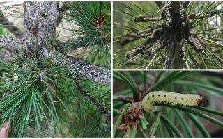 How and what to process pine from caterpillars