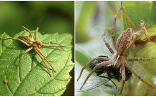 How many ordinary spiders live in an apartment and in nature