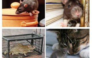 How to get rid of rodents in a private house