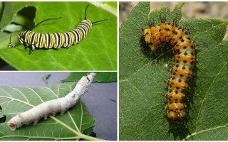 Description of caterpillars, their food and structure