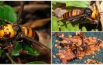 Great Hornets: Giant Asian and Black Hornets