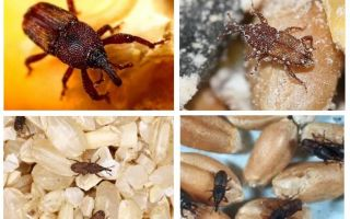 How to deal with weevil in the kitchen