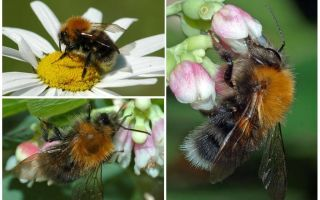 Description and photo of the city bumblebee