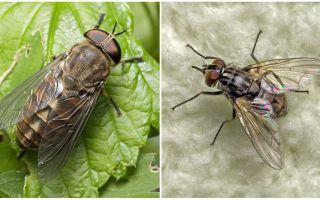 Description and photo bites flies