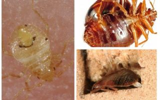 How fast bed bugs breed