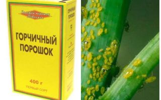 Aphid Mustard