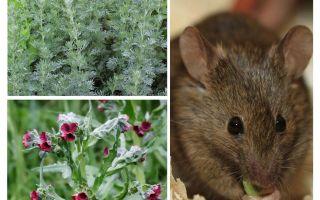 Folk remedies for mice
