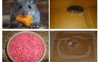 How to get mice out of the garage