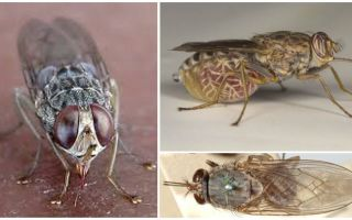 Description and photo of tsetse fly
