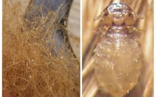 Dog lice symptoms and treatment