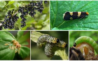 How to get rid of caterpillars on currants