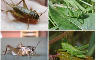 Differences cricket and grasshopper