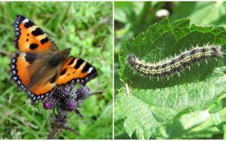 Nettle Caterpillars - Black Caterpillars on Nettle