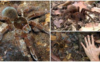 Description and photo of the goliath bird spider