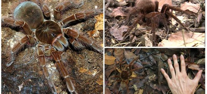 Description and photo of the goliath bird spider