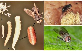What happens if you eat eggs or fly larvae