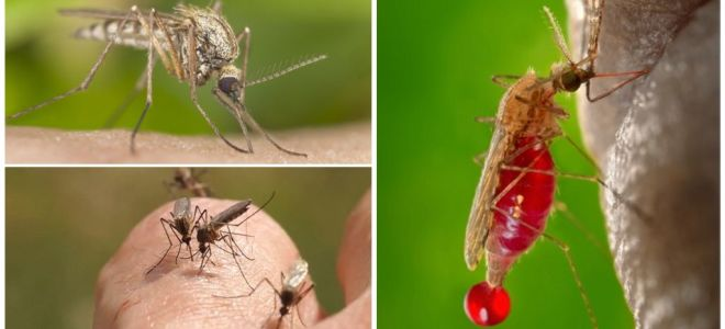 People with which blood group are most often bitten by mosquitoes