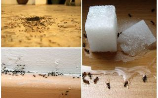 How to remove ants from an apartment at home