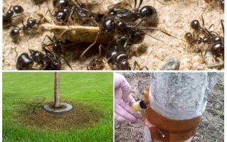 Ant traps in the trees with their own hands
