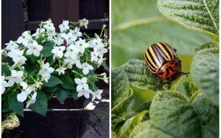 Fragrant tobacco against the Colorado potato beetle