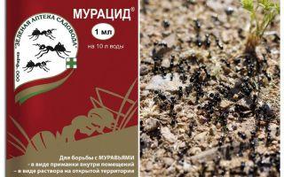 Ants muracid