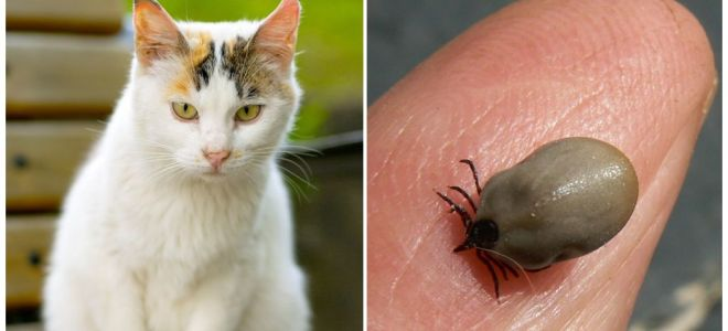 What to do if a cat is bitten by a tick