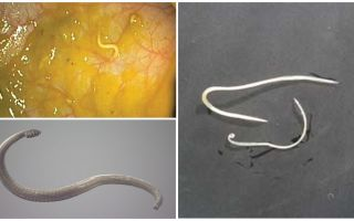 Ways of pinworm infection