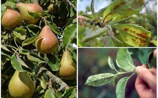 How to get rid of aphids on pear