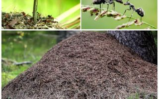 On which side of the tree ants will build an anthill