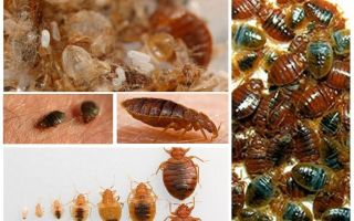 What and how to process clothes and things from bedbugs