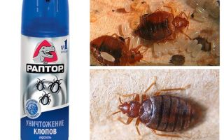 Means Raptor from bedbugs