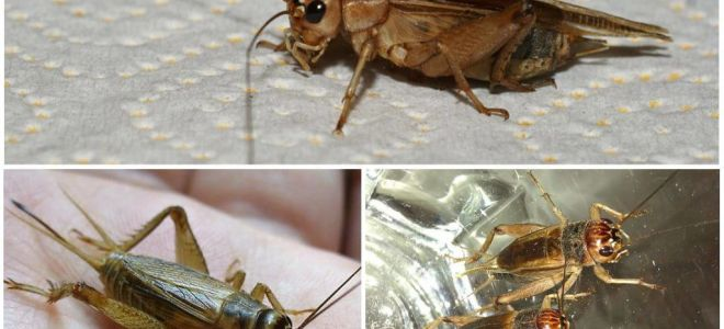 Description and photos of banana cricket