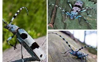 Alpine beetle beetle