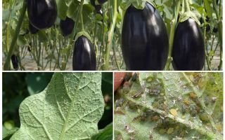 How to fight at home with aphids on eggplant