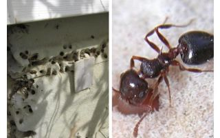 Ants live in insulation