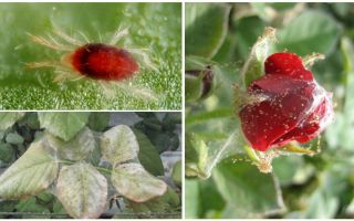 How to process a rose from spider mite
