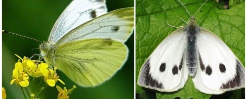 Description and photos of caterpillars and cabbage butterflies