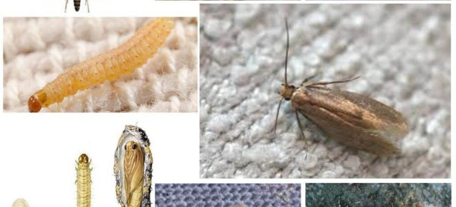 Is the moth afraid of frost and cold