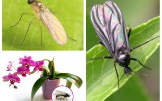 What to do if the midges are bred in the orchids