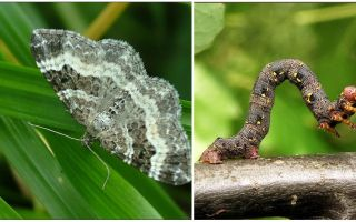 Description, name and photo of various types of caterpillars