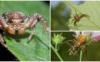 Description and photo of crab spider (non-isometric bokhoda)