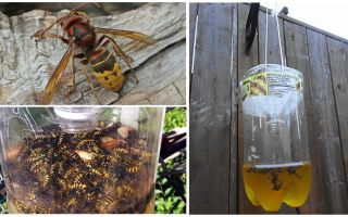 Homemade traps for hornets and wasps