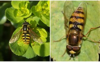 Description and photo of a striped fly resembling a wasp