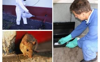 Extermination of rats and mice by specialized services