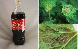 Coca-Cola from aphid