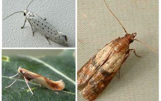 Why moth has no proboscis