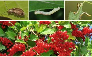 How to get rid of caterpillars on Kalina