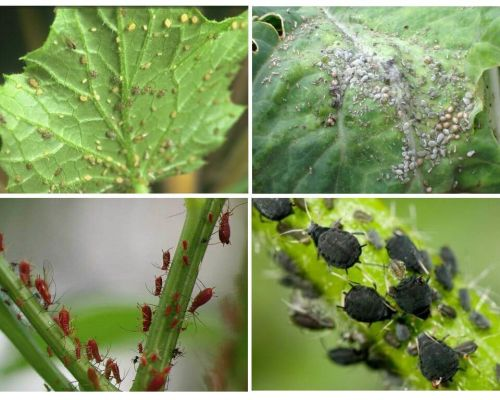 How to deal with aphids in the garden and in the garden of folk remedies