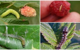 How to get rid of caterpillars on raspberries