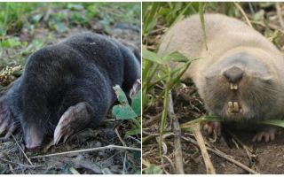What is the difference between a mole and a mole rat?